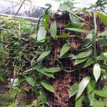 Kebun Vanilla5